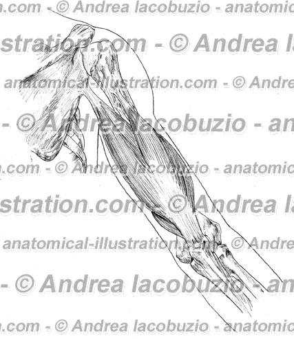 Muscolo tricipite brachiale triceps brachii muscle for Muscolo interno coscia nome