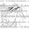 023- Muscolo Sopraspinato – Musculus Supraspinatus – Supraspinatus Muscle