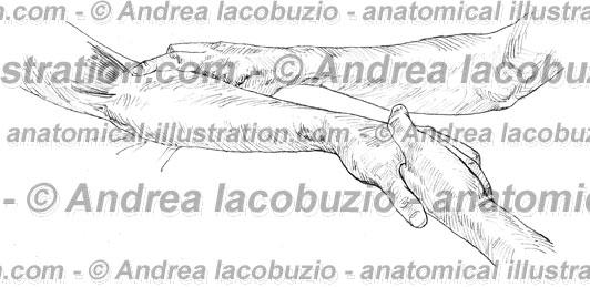 Muscolo supinatore musculus supinator supinator muscle for Muscolo interno coscia nome