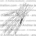 147 – Muscolo Flessore brev mignolo – Musculus Flexor digiti minimi brevis – Flexor digiti minimi brevis Muscle