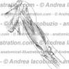 002- Muscolo Tricipite brachiale – Triceps brachii Muscle – Musculus Triceps brachii