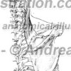 005- Muscolo Elevatore scapola – Levator scapulae Muscle – Musculus Levator scapulae