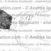 006- Muscolo Elevatore scapola – Levator scapulae Muscle – Musculus Levator scapulae