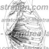 008- Muscolo Gran dentato – Musculus Serratus anterior – Serratus anterior Muscle