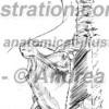 011- Muscolo – Romboide Musculus Rhomboideus – Rhomboid Muscle