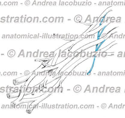 014- Nervo Toracico lungo – Thoracicus longus Nervus – Long thoracic Nerve
