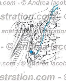 015- Nervo Toracico lungo – Thoracicus longus Nervus – Long thoracic Nerve