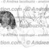 017- Muscolo Grande Romboide – Musculus Rhomboideus major – Rhomboid major Muscle