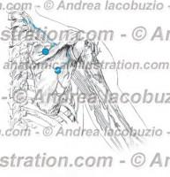 022- Nervo Soprascapolare – Thoracicus longus Nervus – Suprascapular Nerve