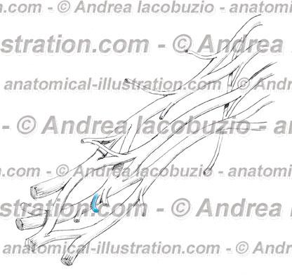 026- Nervo Toracico dorsale – Nervus Thoracodorsalis – Thoracodorsal Nerve