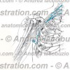 027- Nervo Toracico dorsale – Nervus Thoracodorsalis – Thoracodorsal Nerve