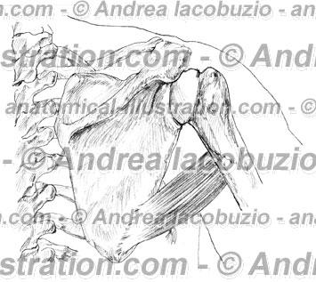 028- Muscolo Grande rotondo – Musculus Teres major – Teres major Muscle