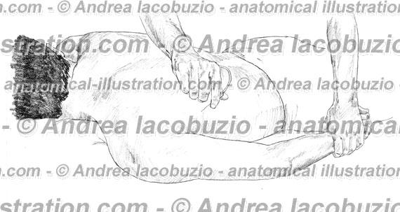 033- Muscolo Gran dorsale – Musculus Latissimus dorsi – Latissimus dorsi Muscle
