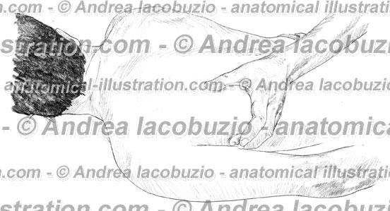 032- Muscolo Gran dorsale – Musculus Latissimus dorsi – Latissimus dorsi Muscle