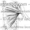 034- Muscolo Gran pettorale – Pectoralis major Muscle – Musculus Pectoralis major