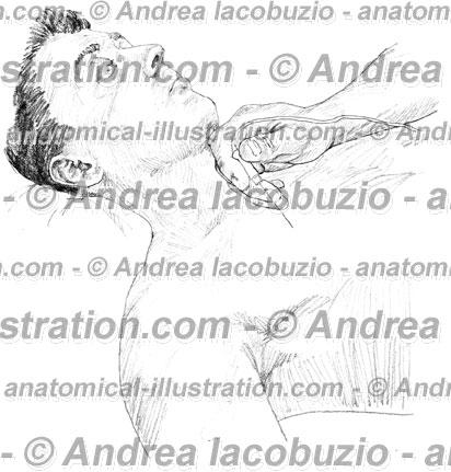 035- Muscolo Gran pettorale – Pectoralis major Muscle – Musculus Pectoralis major