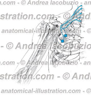 038- Nervi Pettorali – Nervi Pectoralis – Pectoral Nerves