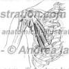 039- Muscolo Piccolo pettorale – Musculus Pectoralis minor – Pectoralis minor Muscle