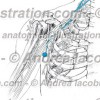 043- Nervo Sottoscapolare inferiore – Nervus Inferior Subscapularis – Lower subscapular Nerve