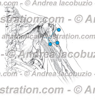 045- Nervo Ascellare – Nervus Axillaris – Axillary Nerve