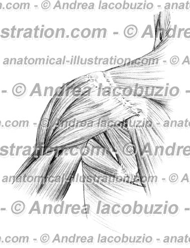 046- Muscolo Deltoide – Deltoid Muscle – Musculus Deltoideus