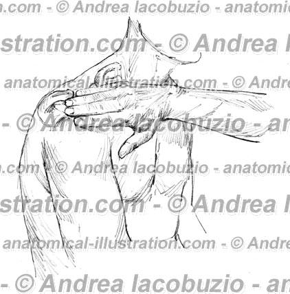 047- Muscolo Deltoide – Deltoid Muscle – Musculus Deltoideus
