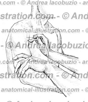 048- Muscolo Deltoide – Deltoid Muscle – Musculus Deltoideus