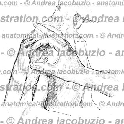 049- Muscolo Deltoide – Deltoid Muscle – Musculus Deltoideus