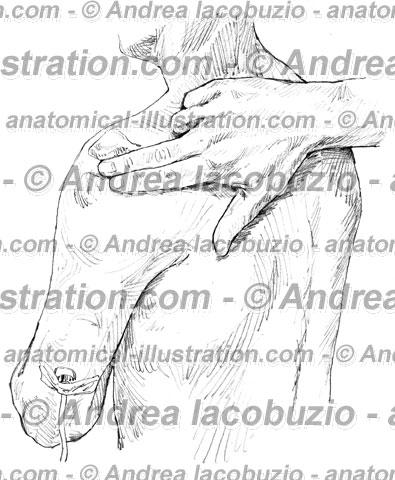 052- Muscolo Deltoide – Deltoid Muscle – Musculus Deltoideus