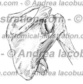 053- Muscolo Piccolo rotondo – Teres minor Muscle – Musculus Teres minor