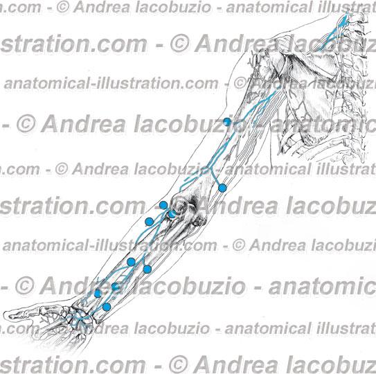 057- Nervo Radiale – Nervus Radialis – Radial Nerve