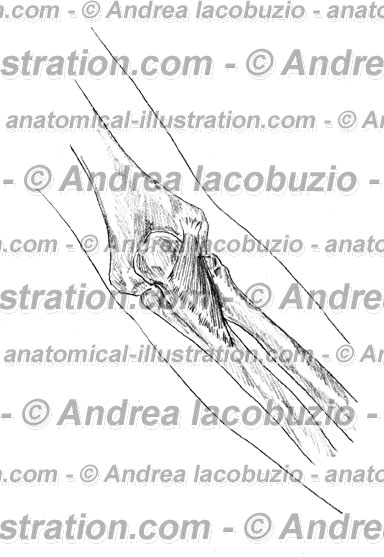 058- Muscolo Anconeo – Anconeus Muscle – Musculus Anconeus