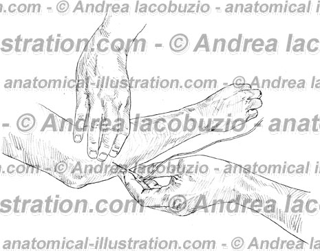 060- Muscolo Anconeo – Anconeus Muscle – Musculus Anconeus