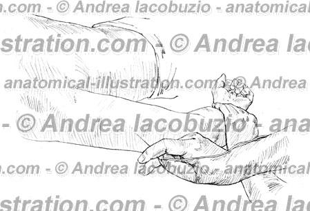 068- Muscolo Tricipite brachiale – Musculus Triceps brachii – Triceps brachii Muscle