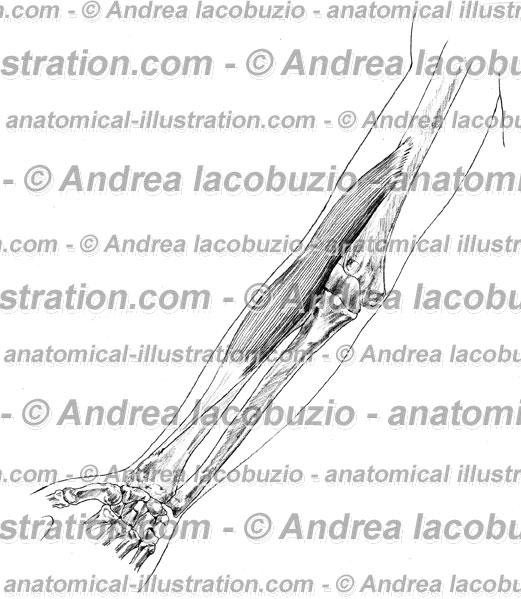 069- Muscolo Brachioradiale – Musculus Brachioradialis – Brachioradial Muscle