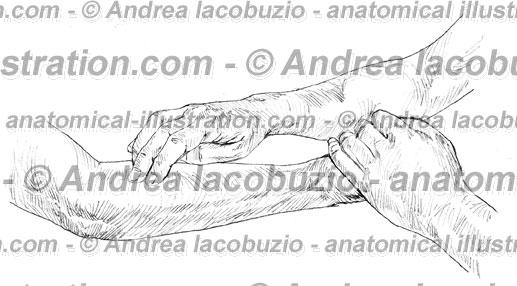 070- Muscolo Brachioradiale – Musculus Brachioradialis – Brachioradial Muscle