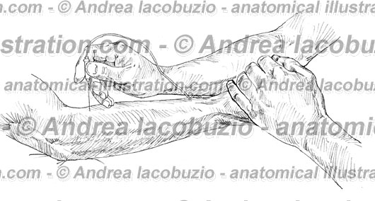 071- Muscolo Brachioradiale – Musculus Brachioradialis – Brachioradial Muscle