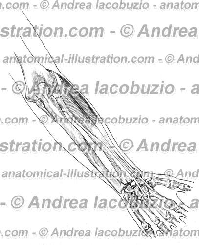 072- Muscolo Estensore radiale carpo – Musculus Extensor carpi radialis – Extensor carpi radialis Muscle