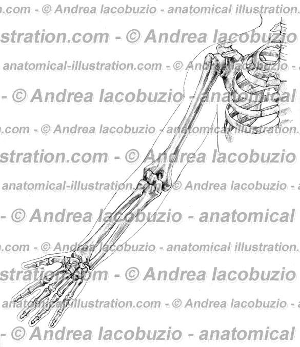 078- Arto superiore – Membrum superius – Upper limb