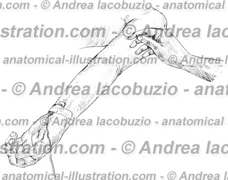 080- Muscolo Bicipite brachiale – Musculus Biceps brachii – Biceps brachii Muscle