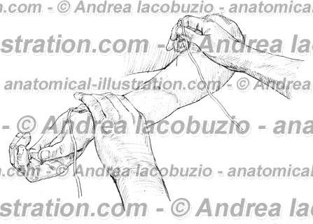 081- Muscolo Bicipite brachiale – Musculus Biceps brachii – Biceps brachii Muscle