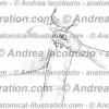 087- Muscolo Coracobrachiale – Musculus Coracobrachialis – Coracobrachialis Muscle