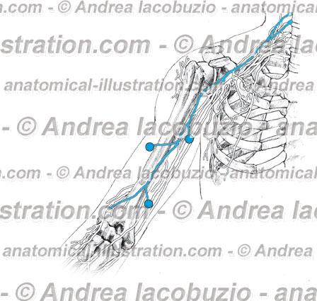 090- Nervo Muscolocutaneo – Nervus Musculocutaneous – Musculocutaneous Nerve