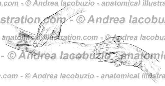 095- Muscolo Pronatore rotondo – Musculus Pronator teres – Pronator teres Muscle