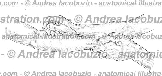 096- Muscolo Pronatore rotondo – Musculus Pronator teres – Pronator teres Muscle