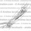 097- Muscolo Flessore radiale carpo – Musculus Flexor carpi radialis – Flexor carpi radialis Muscle
