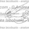 099- Muscolo Flessore radiale carpo – Musculus Flexor carpi radialis – Flexor carpi radialis Muscle