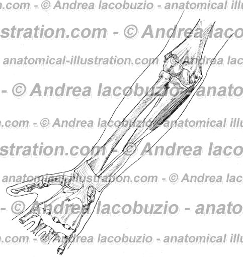 100- Muscolo Palmare lungo – Musculus Palmaris longus – Palmaris longus Muscle