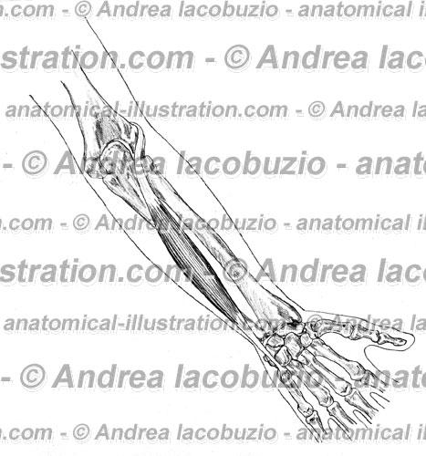 103- Muscolo Estensore ulnare carpo – Musculus Extensor carpi ulnaris – Extensor carpi ulnaris Muscle