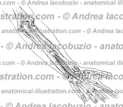 109- Muscolo Estensore propio indice – Musculus Extensor indicis – Extensor indicis proprius Muscle